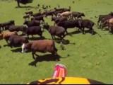 krowy z